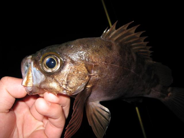 ライトソルト メバル釣り ワームに食わない魚はプラグで食わせよう!