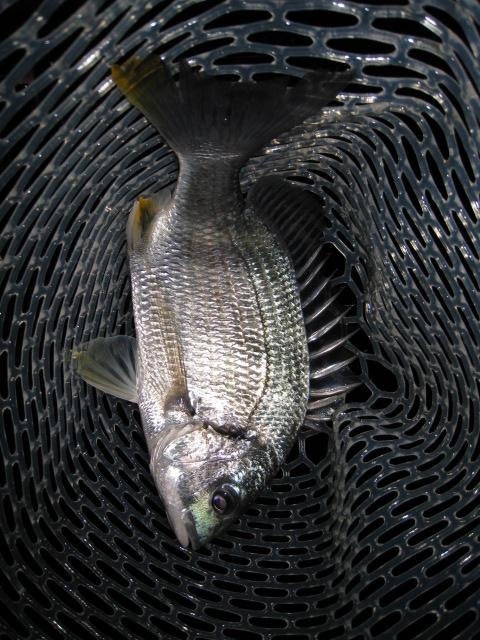 ライトソルトで狙う春のクロダイ・キビレ釣り 初春~梅雨時期は爆釣の可能性大!