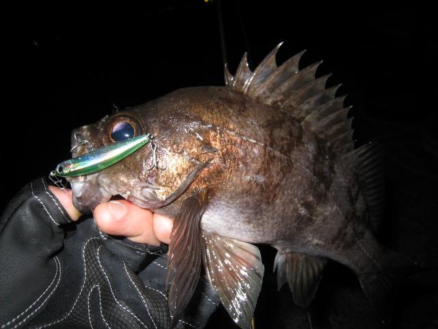 シラスミノーリップレス フローティング メバル 釣果