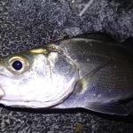 セイゴ釣り 時間帯