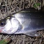 セイゴ釣り 時期