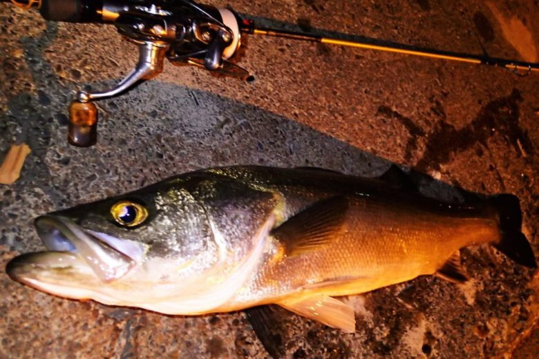 秋 セイゴ釣り