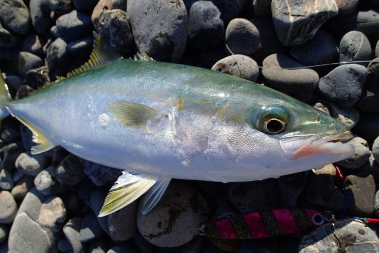 秋 ショアジギング 釣れる魚