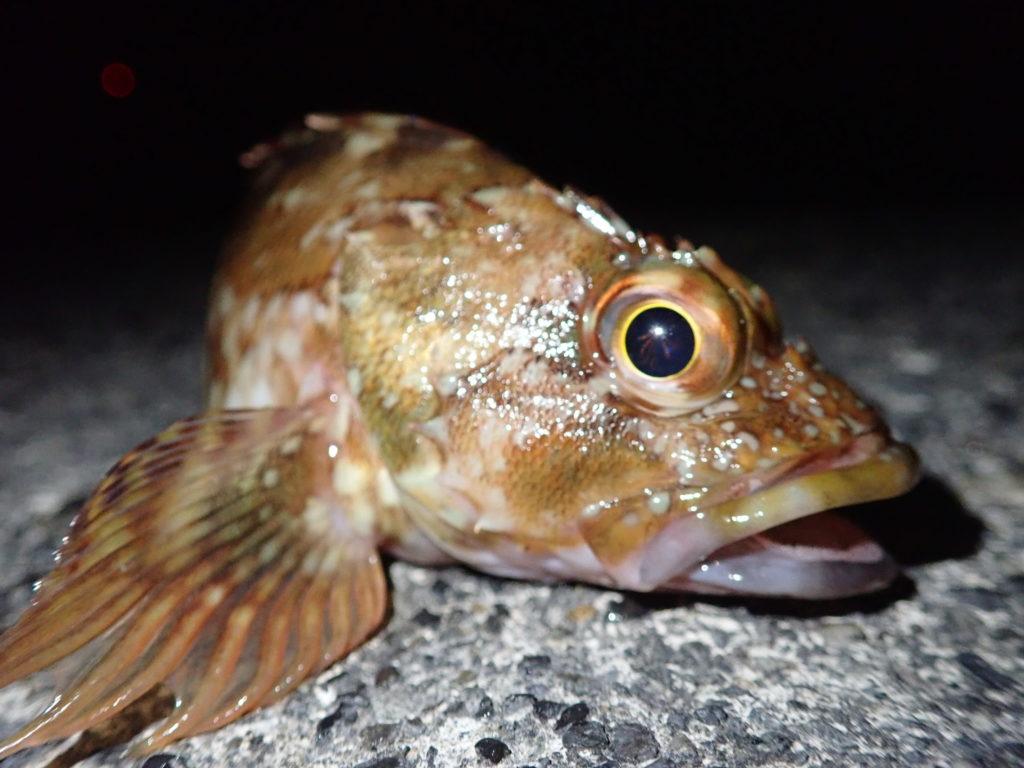 カサゴ釣り 餌の種類と選び方の基本!