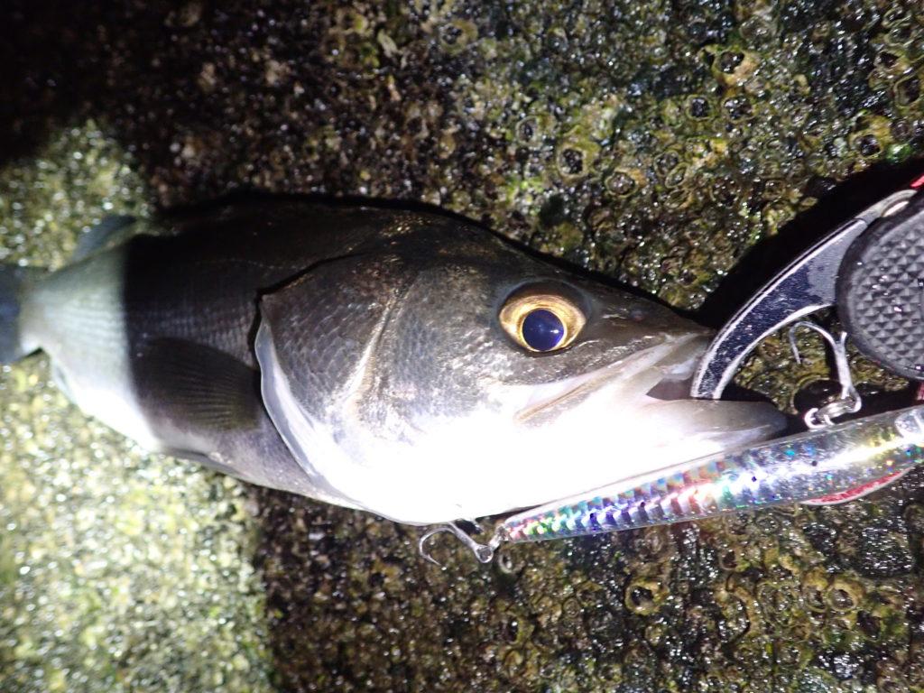 静岡シーバス釣行 小型ベイト回遊、数釣りを楽しむ!