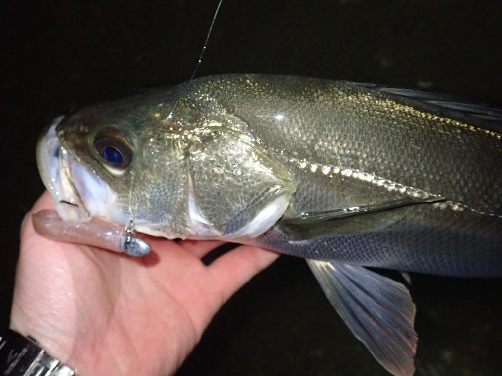 静岡シーバス釣行 潮止まり打開で好釣果!
