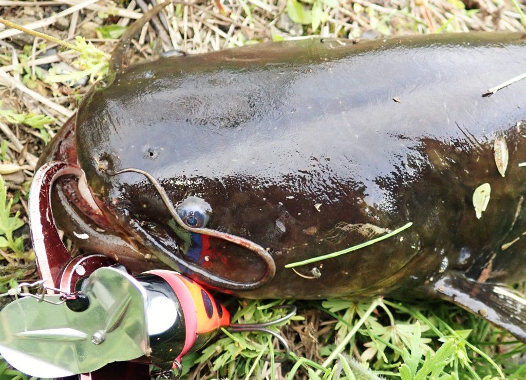 静岡ナマズ釣行 小河川で良型の釣果!
