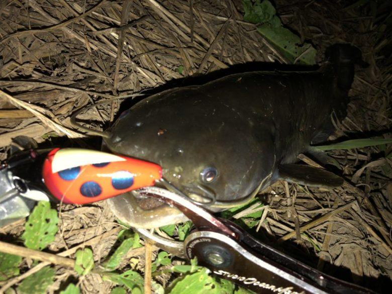 ナマズ 夜 釣果