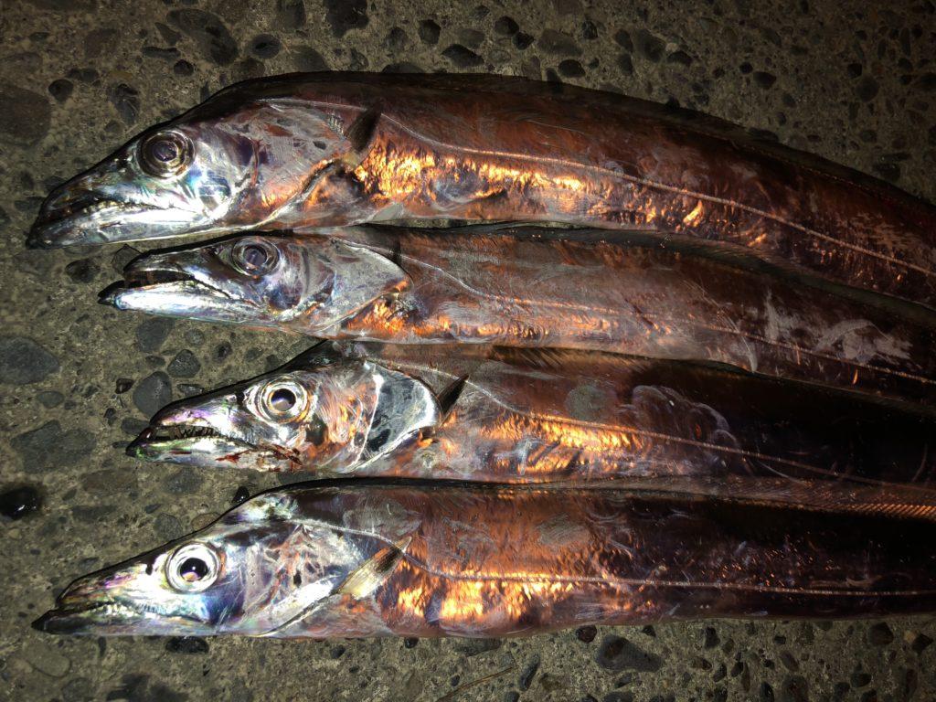 清水港タチウオ釣行 秋シーズン釣果出てます!