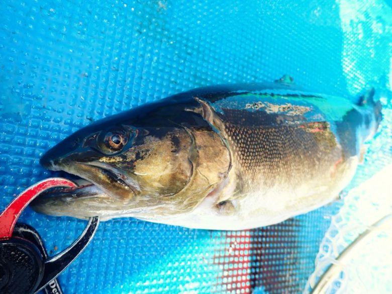 ブルーカレント トラウト 釣果