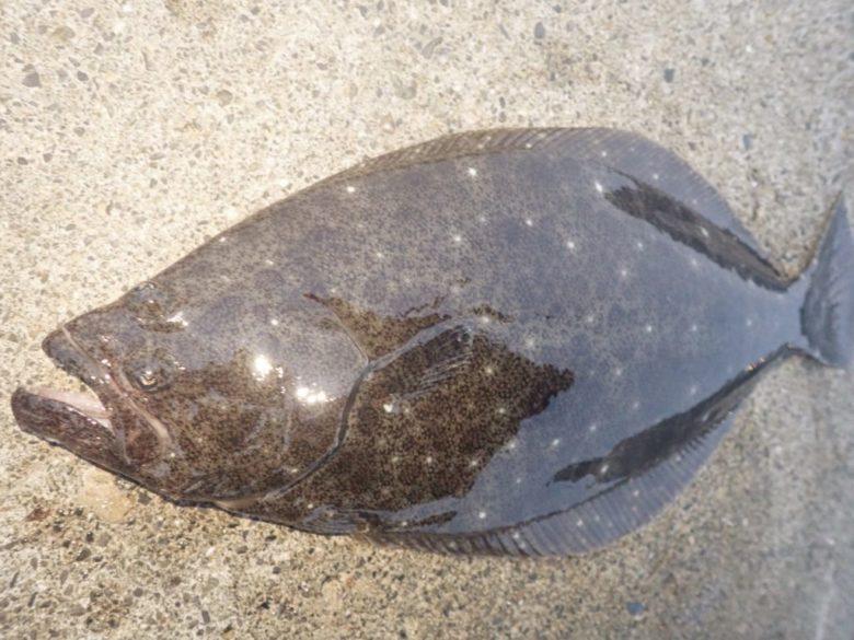 静岡サーフ ヒラメ 釣果