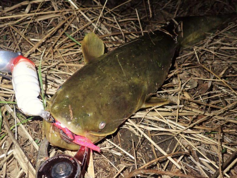 ナマズのルアー釣り 夜 ナイトゲーム