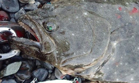 ジグパラ ヒラメ 釣果