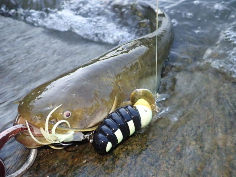 静岡 ナマズ 釣果