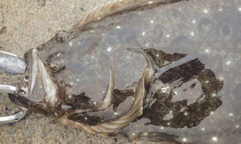 梅雨時期 ヒラメ 釣果