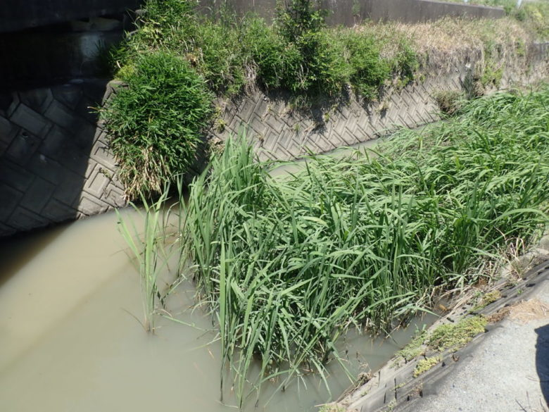 ナマズ 増水 水路