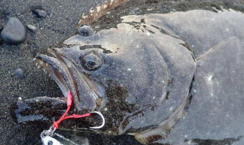 静岡 ヒラメ 釣果