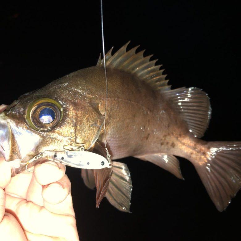 フロッパー メバル 釣果