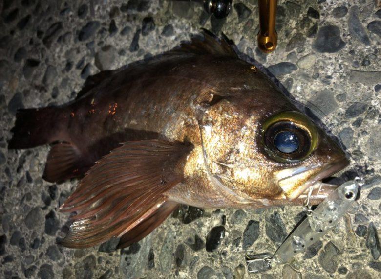 SPM55 メバル 釣果