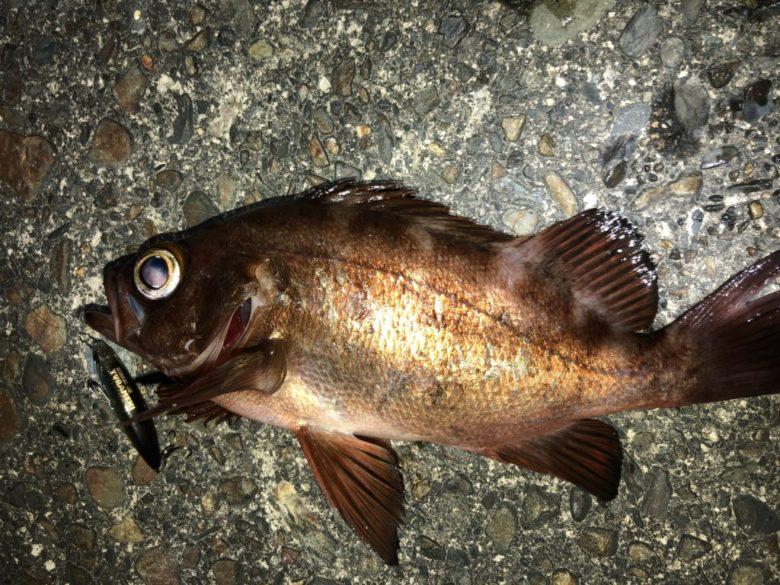 ユラメキ メバル 釣果