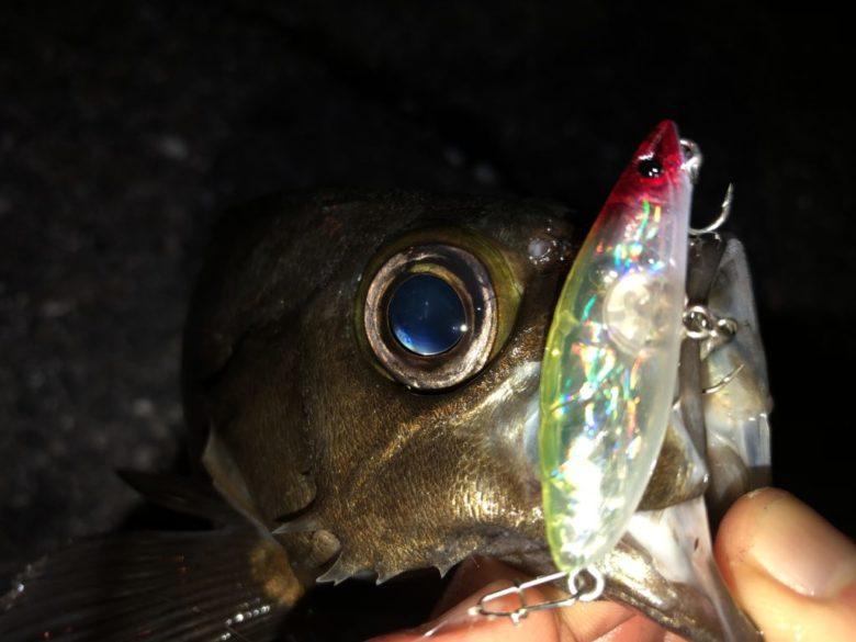 サイドシュリンプ メバル 釣果