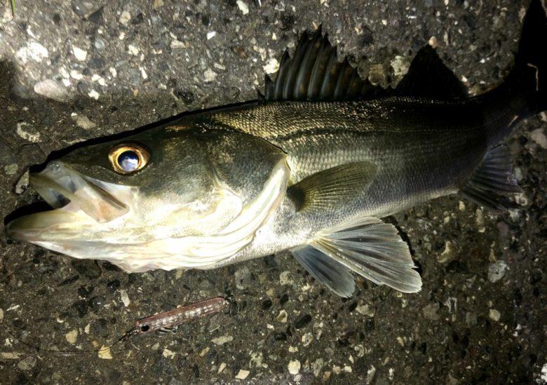 コレット45 シーバス 釣果