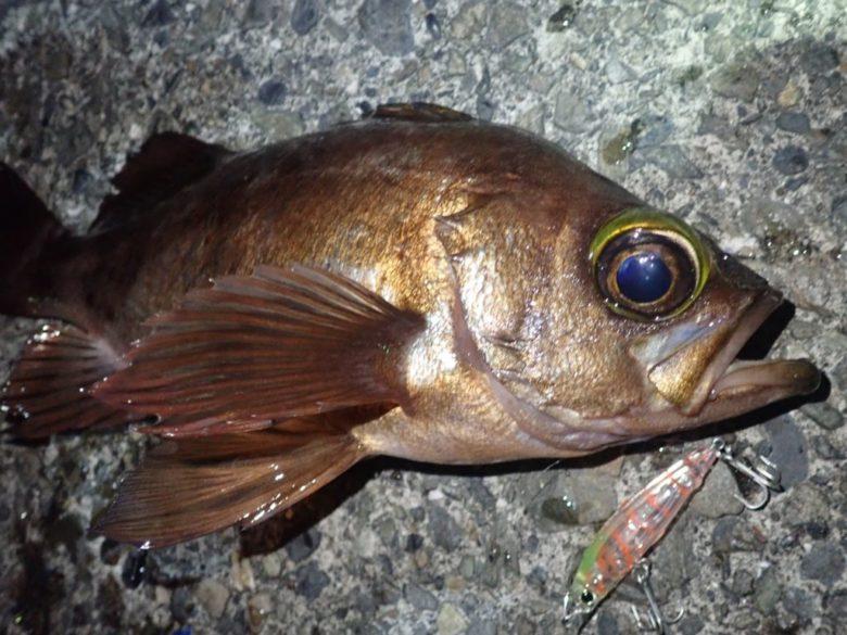 LGミノーS メバル 釣果