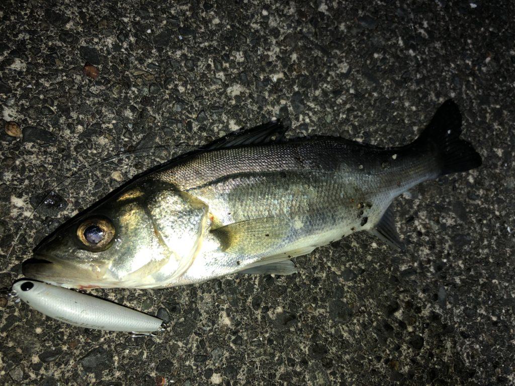静岡ライトゲーム釣行 潮が動かず、ベイトの気配も薄く苦戦・・・