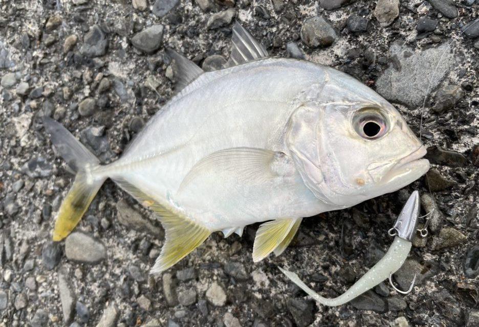 デカキビナーゴ 釣果