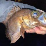 メバル 釣果