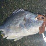 清水港チニング釣行 キビレの回遊あり!