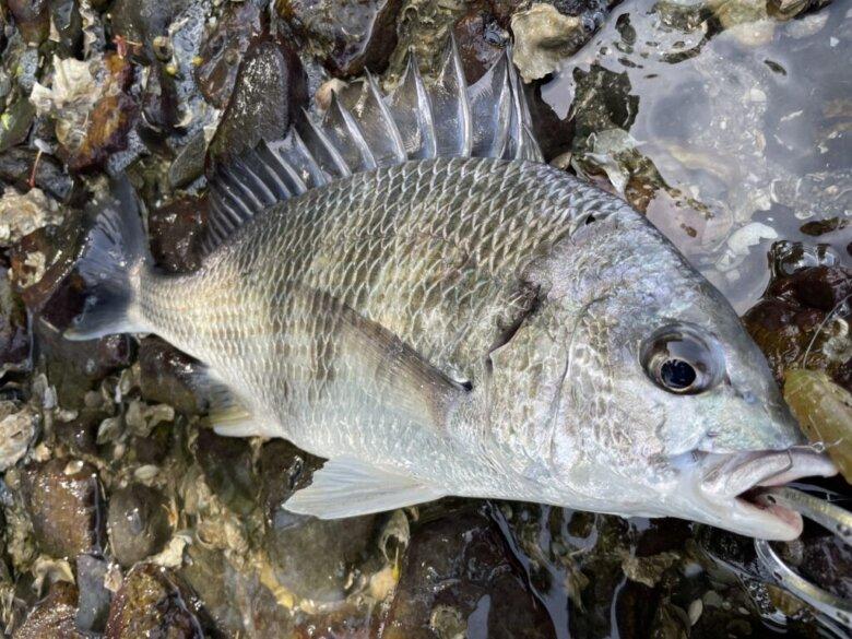 猪鼻湖 尾奈 釣れる魚