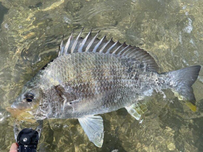 浜名湖 チヌ 釣果