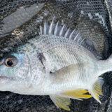 4月の静岡チニング釣行 食い渋りに苦戦しつつも記録達成!