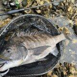 5月の静岡チニング釣行 良型クロダイの釣果あり!