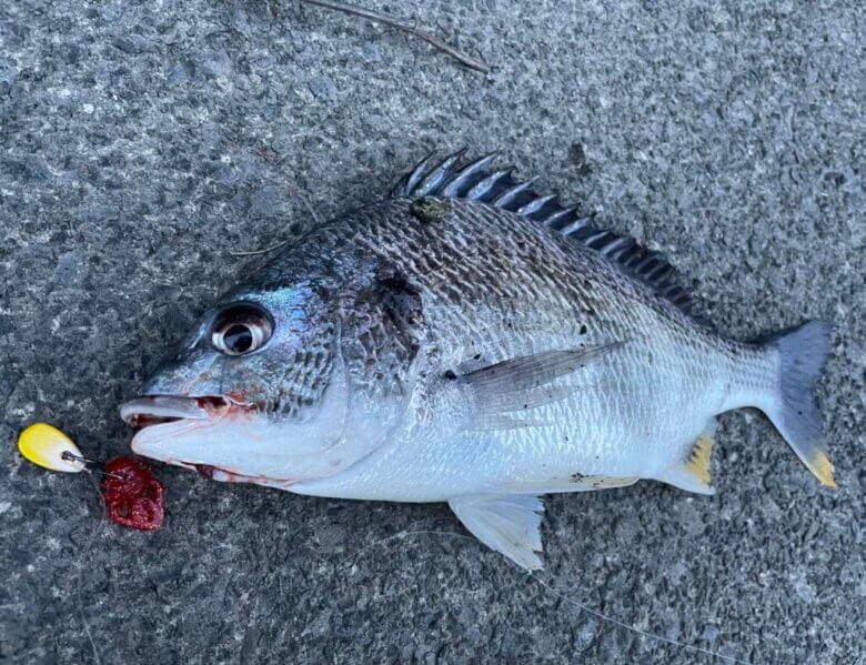 チニング 赤 釣果
