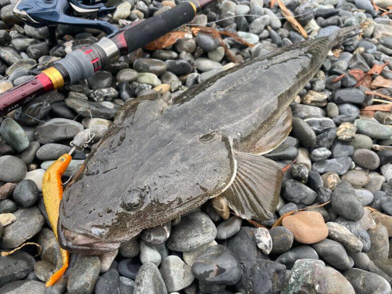サーフ ヒラメ マゴチ 釣果