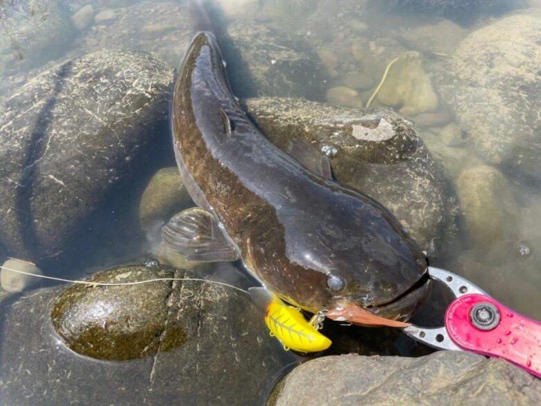 ナマズ 闇鯰スナイパー 釣果