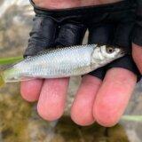 静岡川釣り釣行 流し毛ばりで良型オイカワ・カワムツをキャッチ