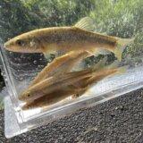 アブラハヤ(タカハヤ)釣り基礎講座 釣り方・狙い方のコツを基礎から解説