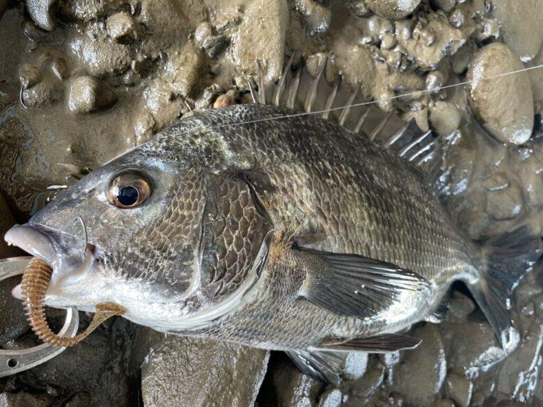 スイングインパクト チヌ 釣果