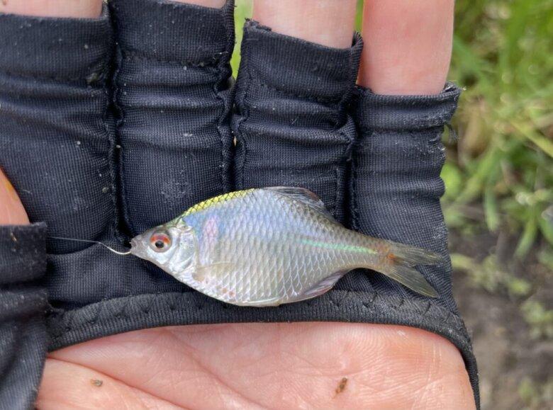 タナゴ 釣果