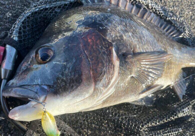 水泡 チヌ 釣果