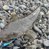 9月の富士サーフヒラメ・マゴチ釣行 フラット・青物回遊