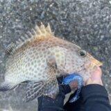 焼津オオモンハタ釣行 謎の大型魚がヒットするも・・・